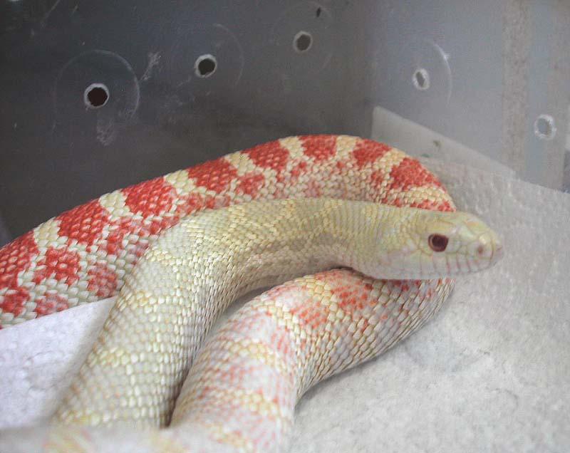 Albino Bull Snake. | Reptiles Canada Forums
